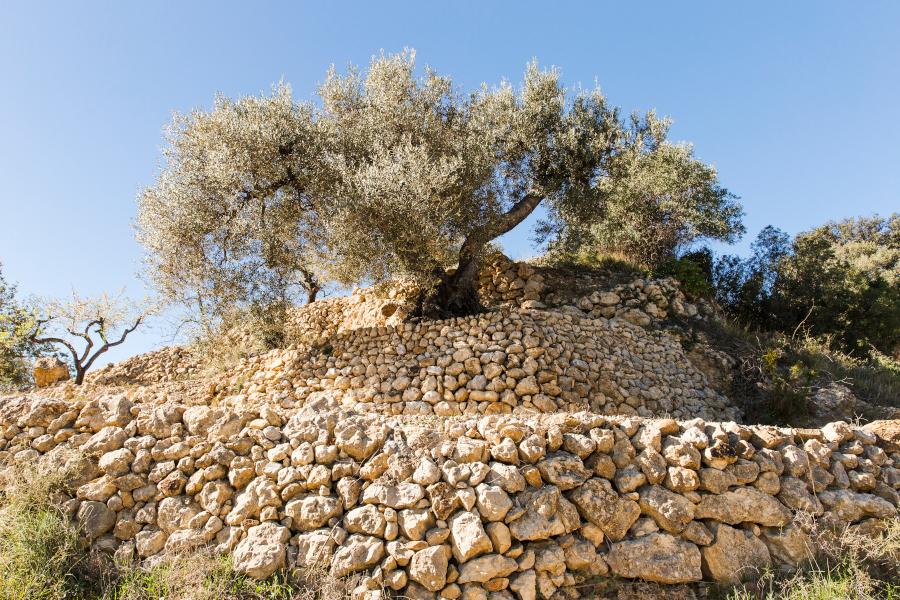 Árboles monumentales olivos